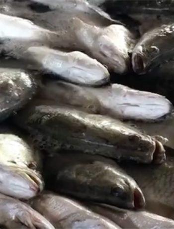 Anche i pesci provano dolore e sono creature sensibili e intelligenti