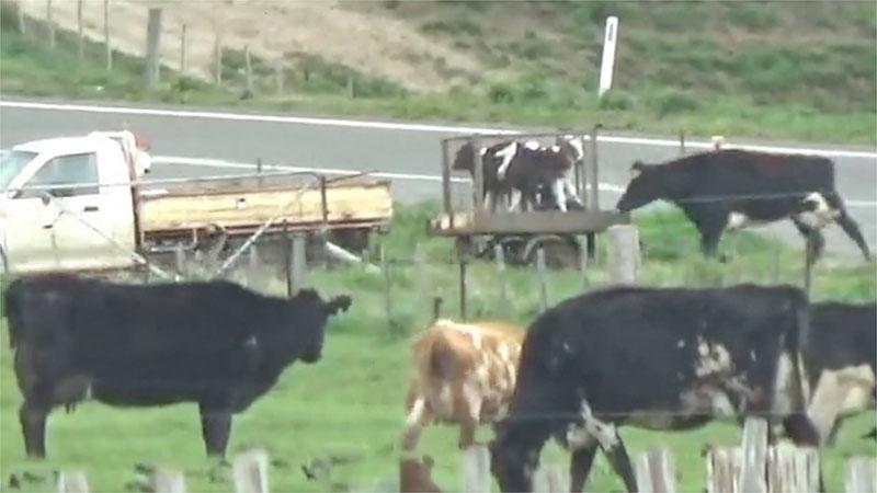 Che fine fanno i vitelli sottratti alle mucche da latte?